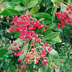 """Toyon """"Berries"""" (melystu) Tags: berry heteromeles pome toyon red winter fruit westcoast"""
