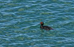 DSC_9300c (panormo48) Tags: cormoran patagonia argentina agua mar meer oceano ozean animal vgel pjaro ave marina wasser