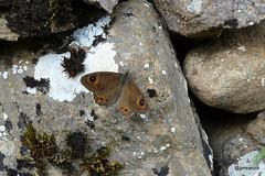 20161127 (josejuanmiranzo) Tags: mariposa butterfly piedra somiedo espaa spain stone liquen lichen musgo moss nature naturaleza foto photo photography canon canonista canonist jjmiranzo