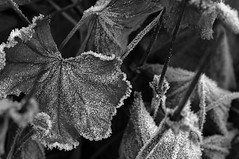 Jack Frost leaves his footprints as he dances on the leaves (Richie Rue) Tags: nikond300 leaves leaf frost frosty cold autumn fall nature mono monochrome blackandwhite