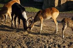 Heerlijk hooi. (limburgs_heksje) Tags: nederland niederlande netherlands noord brabant beekse bergen safaripark dierenpark