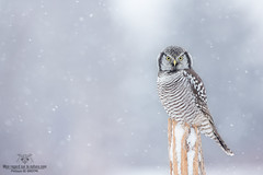 Chouette hiver !! (Philou73couz) Tags: chouetteépervière northernhawkowl snow chouette hiver monregardsurlanature nature neige owl philippedebruyne wildlife winter