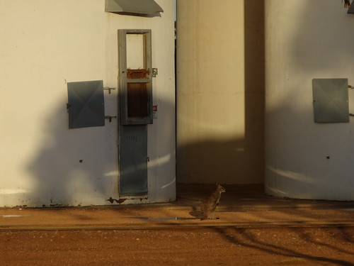 Kangaroo waiting for a train at Wudinna silos South Australia
