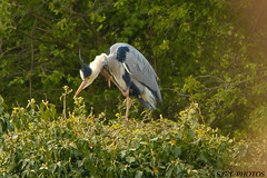 IMG_2272 (undertaker17565) Tags: greyheron wildbird