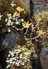 Sedum_spathulifolium_4_2 (Mark Egger) Tags: crassulaceae sedumspathulifolium
