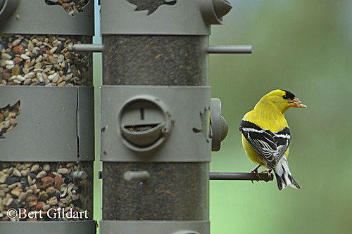 GoldFinch (1 of 2)