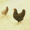 daisy & friend (lawatt) Tags: black chicken film meadow daisy instant hen slr680 australorp thelittledoglaughed theimpossibleproject px680