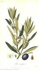 Olea Europaea (u Olivo) (Museo del Romanticismo) Tags: plantas biblioteca libros botánica romanticismo sigloxix