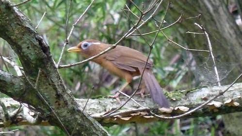 自然環境保全センターのガビチョウ(Bird, Nature Environment Preservation Center, Kanagawa, Japan)