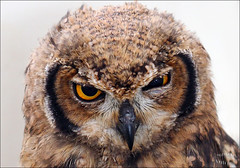 «You talkin' to me? You talkin' to me? ». (BlueMaury) Tags: owl taxidriver coquette rapace civetta gufo youtalkintome rapacenotturno nightraptor