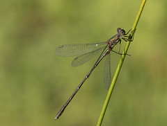 Enjoying the Sun (pe_ha45) Tags: dragonfly libelle libellule