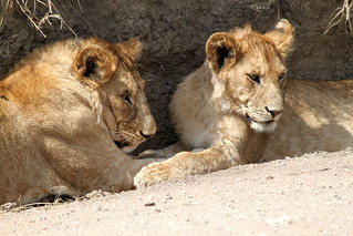 Lion Cubs in Central Serengeti