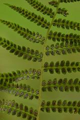Lady fern (Athryium filix-femina) (T. Morris) Tags: ohio ferns sori ladyfern dryopteridaceae lickingcounty athyriumfilixfemina