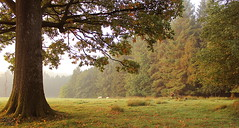 The Morning Graze (Glenda Hall) Tags: autumn trees mist grass misty forest sunrise canon eos hall oak estate september deer framing grounds grazing glenda tyrone countryscene greatoak whitedeer castlecaulfield countytyrone 2013 60d parkanaur parkanaurforestpark