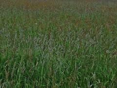 Wiese (bibi) Tags: flowers flower wiese blumen blume grser flowerfield blumenwiese