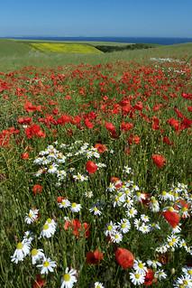 Nature, fleurs, coquelicots et camomille