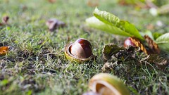 Chesnut in the park (Sebastian Kaczorowski) Tags: autumn brown fall nature fruit leaf pod time seed falling crop nut husk conkers spiked harvesting chesnut aesculus hippocastanum travellocations conceptsandideas horsechestnutseed
