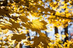 Golden (Culinary Fool) Tags: autumn fall leaves washington maple october dof bokeh leavenworth hwy2 culinaryfool 2470mm28 2013 stevenspasshwy brendajpederson