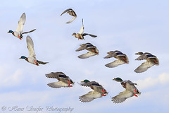 The flight of the ducks.. (Hans Surfer (where the action is)) Tags: ducks alittlebeauty coth5 mygearandme mygearandmepremium mygearandmebronze mygearandmesilver mygearandmegold mygearandmeplatinum mygearandmediamond sunrays5 theflightoftheducks