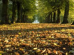 Carpet of Leaves (DaveKav) Tags: autumn trees fall leaves lime avenue nationaltrust nottinghamshire clumber limetreeavenue