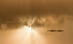 sun stalker (William Miller 21) Tags: mist reflection nature fog sunrise florida wildlife alligator lachua payneprairie