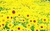 Sunflower Field Wide (Wonderful beautiful photograph images) Tags: wallpaper beautiful wonderful nice superb awesome images exotic watercolour hd incredible breathtaking classy mindblowing beautifulsunset yellowsunflower brightyellowsunflower sunsetwallpaper ecommercedevelopment butterflyonsunflower sunsetsunflower beeonsunflower ecommercewebsitedevelopment sunflowersatsunset amazingsunsetwallpaper tropicalislandsunsetwallpaper boatinalakeatsunsetwallpaper goldensunflowerwallpaper gorgeoussunflowers amazingsunflowers redsunflowerwallpaper twosunflowerwallpaper pureredsunflowerwallpaper fieldofflowerswithsunsetwallpaper greenlightsunsetwallpaper beautifullflowersunsetwallpaper sunflowersunsetwallpaper whitefloweronthecoast lavenderfieldsatsunset purplesunsetwallpaper sunflowerinthegarden magnificentredsunsetwallpaper sunflowerfieldwide sunsetlightoverthesunflowerfield sunsetinsunflowerfield sunrisescenerysunsetwallpaper sunsetnaturepicture orangesunflowerwithsunset beautifulgoldensunflowerwallpaper