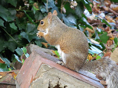 Lunchtime (pefkosmad) Tags: nature animal squirrel eating wildlife nuts lunchtime gloucestershire churchyard cheltenham stmarywithstmatthewchurch
