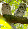 Tawny frogmouths, Pallarenda, Townsville, QLD, 10/01/07 (Russell Cumming) Tags: bird queensland townsville tawnyfrogmouth pallarenda