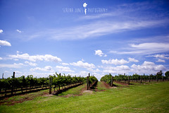 Hunter Valley (Serena178) Tags: green wine vineyards hunter huntervalley odc2