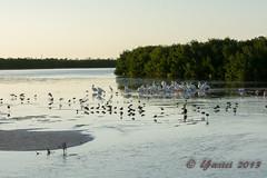 White Pelicans, and others (al5651) Tags: bird nature unitedstates florida sanibel sanibelisland whitepelican wetland leecounty fortmyers 70300 southwestflorida dingdarlingnwr nikon70300mmf4556vr al5651 nikond7100