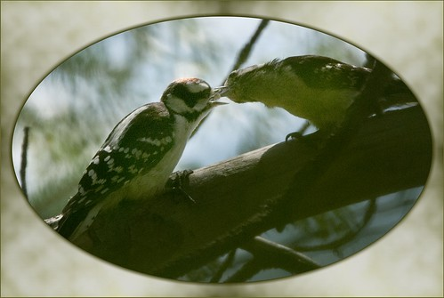 Downy Woodpecker Feeding Young