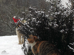 Yes Guys, We Caught Him! Santa Claus Is Here!!! ❅ (Xena*best friend*) Tags: christmas wood wild italy pet cats pets snow animals fur chats furry woods feline flickr tiger kitty kittens whiskers piemonte monica gato calico purr santaclaus paws merrychristmas gatto katzen pussycat markings feral monicabellucci stnick bellucci wildanimals ©allrightsreserved alleycatallies piedmontitaly canonef70300mm canoneos500d eosrebelt1i