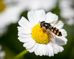 Hover Fly on New Year's Day (Miss Tiggywinkle) Tags: gardens daisies insects bugs daisy hoverfly bowral miltonpark miniaturedaisy