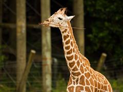 Baby Shira (jimjiraffe) Tags: canon zoo shira auckland nz giraffe zoobaby aucklandzoo westernsprings babygiraffe