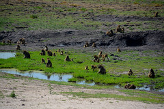 Picknick (99point9) Tags: africa sunlight color colour green nature water colors grass animal animals nikon wildlife baboon botswana chobe baboons d5200
