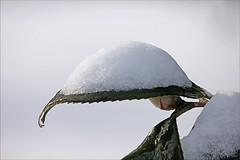 Snow on The Mountain Camellia Camellia in Snow Timeinabox