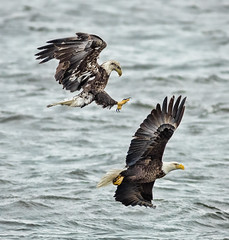 Le Claire Eagles (Jan 2014)- (shane422) Tags: iowa eagles raptors leclaire ld14
