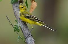 Yellow Wagtail (Motacilla flava) (Ian N. White) Tags: botswana kasane yellowwagtail motacillaflava westernyellowwagtail