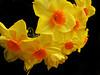Yellow (Tony Shertila) Tags: england flower yellow words flora europe britain stamen daffodil narcissus etymology mygearandme cornwalllostgardensofheligan