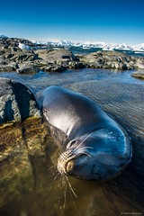 DSC_7516.jpg (Ashley.Cordingley1) Tags: sea storm elephant cold ice birds giant fur penguin extreme leopard seal british remote whales orca petrol wilderness humpback survey albatross antarctic peninsular weddell crabeater wilsons