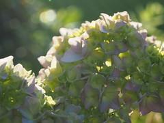 (StephanieMller) Tags: hydrangea gegenlicht hortensie