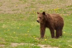 The Perfect Little Grizzly Bear (Hello, It's Me (off for a while)) Tags: bear canada danger britishcolumbia wildlife columbia canadian ridge british grizzly predator tumbler omnivore
