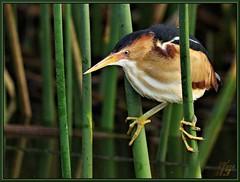 School Monitor (WanaM3) Tags: fish bird nature reeds texas wildlife sony ngc bayou pasadena canoeing paddling bittern a77 leastbittern specanimal fishting avianexcellence horsepenbayou sonya77 sunrays5