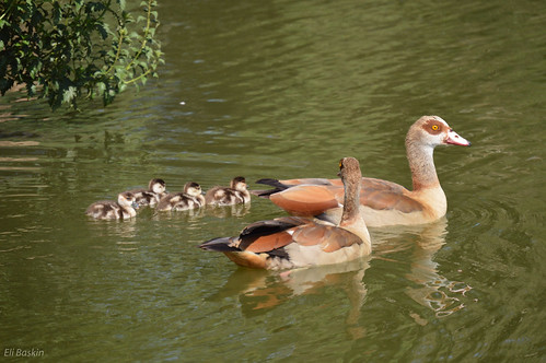 משפחת ברווזים