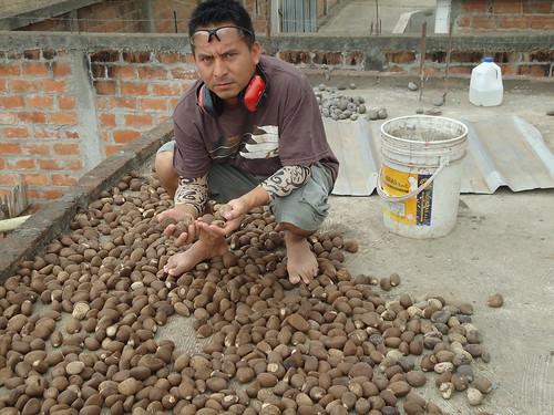 Raw tagua nuts