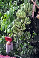Banana (teohwp85) Tags: banana kelantan bharu wakaf
