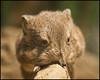 _SG_2014_02_6008_IMG_7948 (_SG_) Tags: elephant mouse jumping shrew maus shrews elephantshrew säugetiere rüsselspringer ruesselspringer jumpingshrews elefantenrüsselmäuse