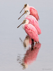 Three of a Kind (craig goettsch - out shooting) Tags: bird nature animals nikon wildlife ngc npc avian roseatespoonbill d610 usnwr
