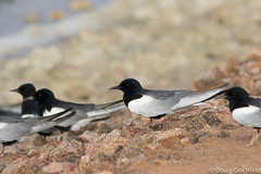 White-winged Terns (Doug Gochfeld) Tags: israel spring adult flock flight breeding april perched takeoff eilat whitewingedtern wwte
