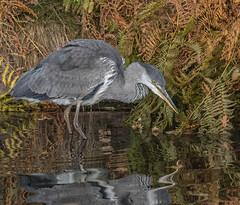 Autumn Heron (R22GMS) Tags: heron autumn wildbirds birds birdofprey bushy park rivers fishing